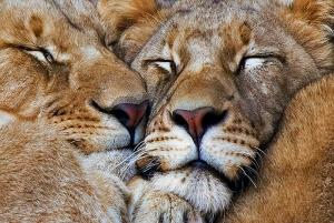 Sleeping_Lions_new