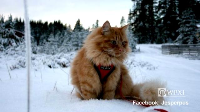 snack_skiing_cat